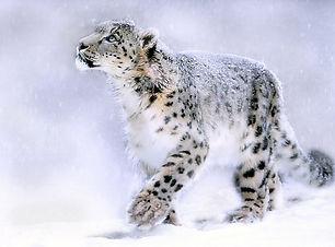Leopardo de las nieves invierno