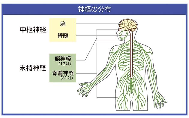 中枢神経と末梢神経の違い | 脊...