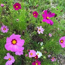 fleurs violettes.jpeg