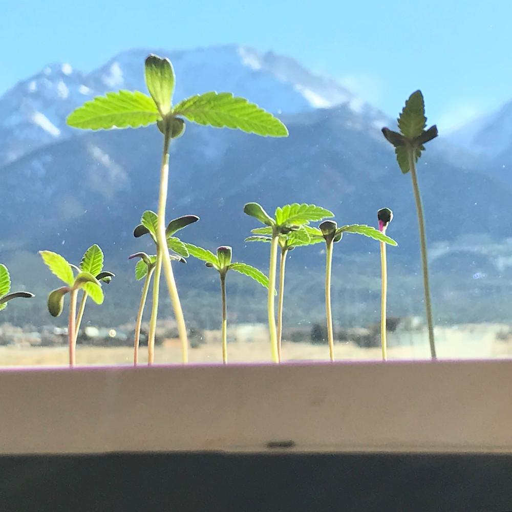 cannabis, sangre de cristo mountains, mountains, clone tray, cannabis seedlings, colorado
