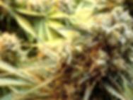 Craft cannabis bud in boom