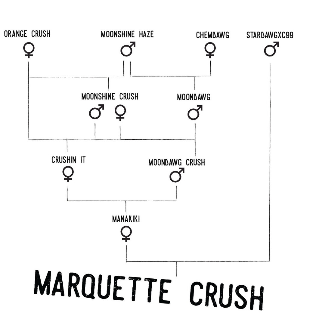 Marquette_Crush_Pedigree_Square-01_edited.jpg