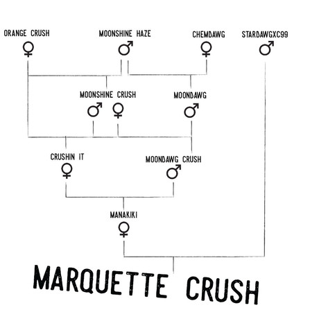 Marquette_Crush_Pedigree_Square-01_edited.jpg