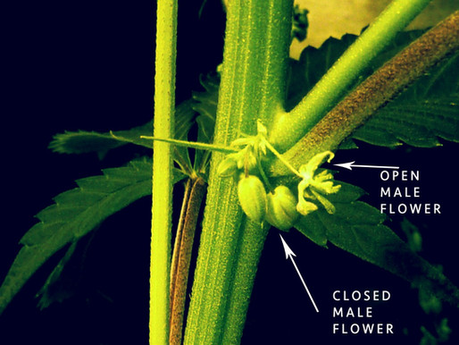 How to identify male & female cannabis plants