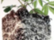 Close up of healthy vegetative cannabis root ball
