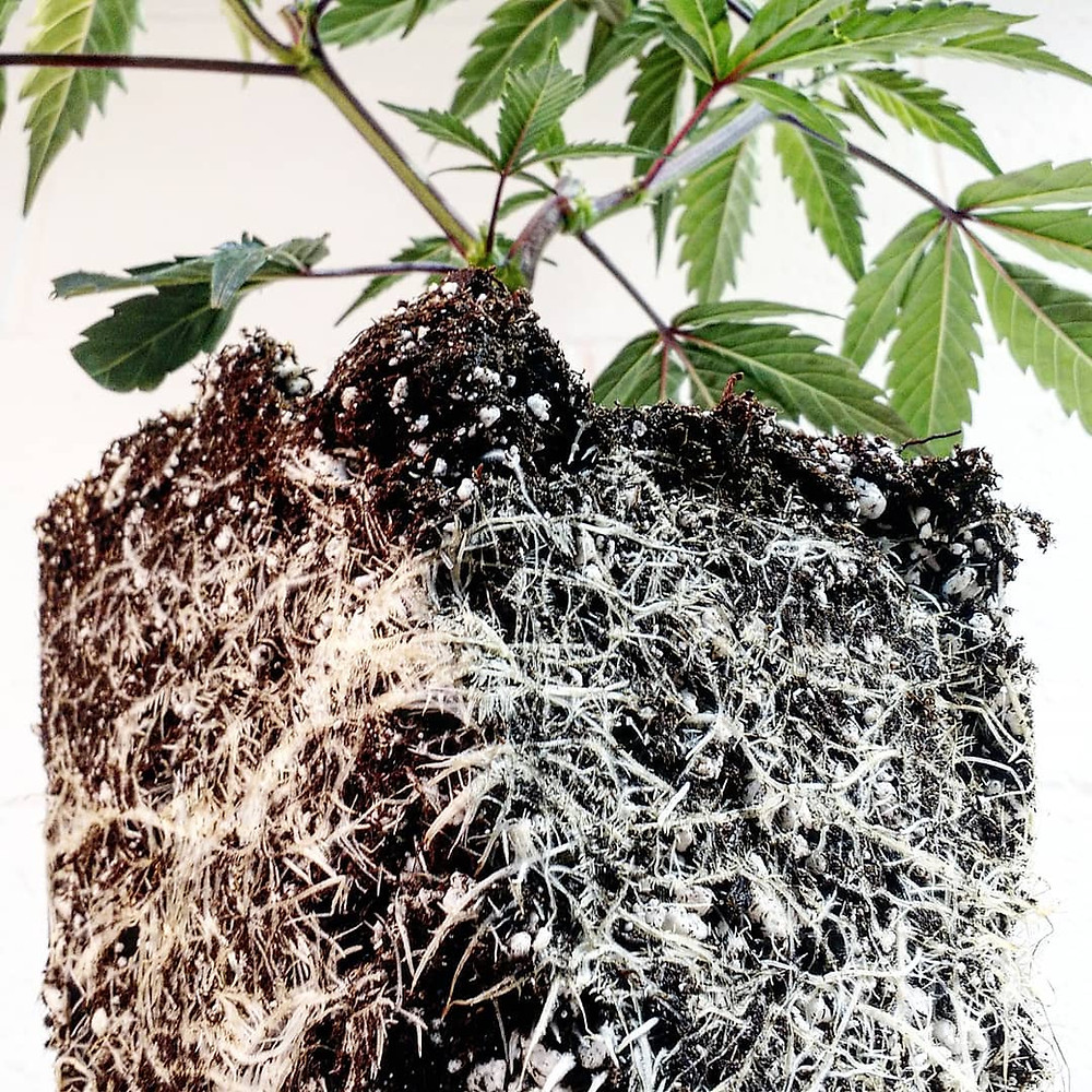 cannabis roots, root ball,