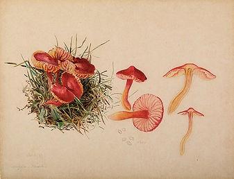 Beatrix_Potter-_Mycology._Source-_Armitt