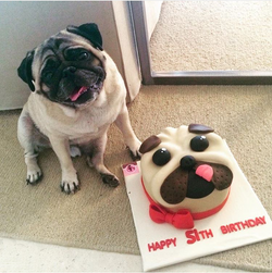 עוגת כלב פאג