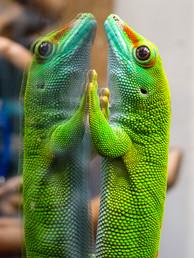 Gecko on Mirror
