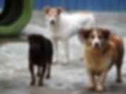 Adopter un chien roumain