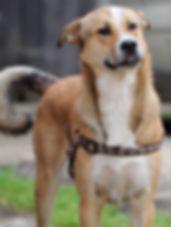 Sasha, chien roumain, adopté