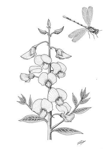 Artigo_Crotalaria-Libelula.jpg