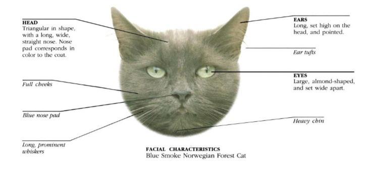 Facial characteristics of a Norwegian Forest Cat
