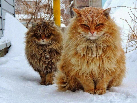 "The Mythical ""Fairy-Cats"": All About Norwegian Forest Cats"
