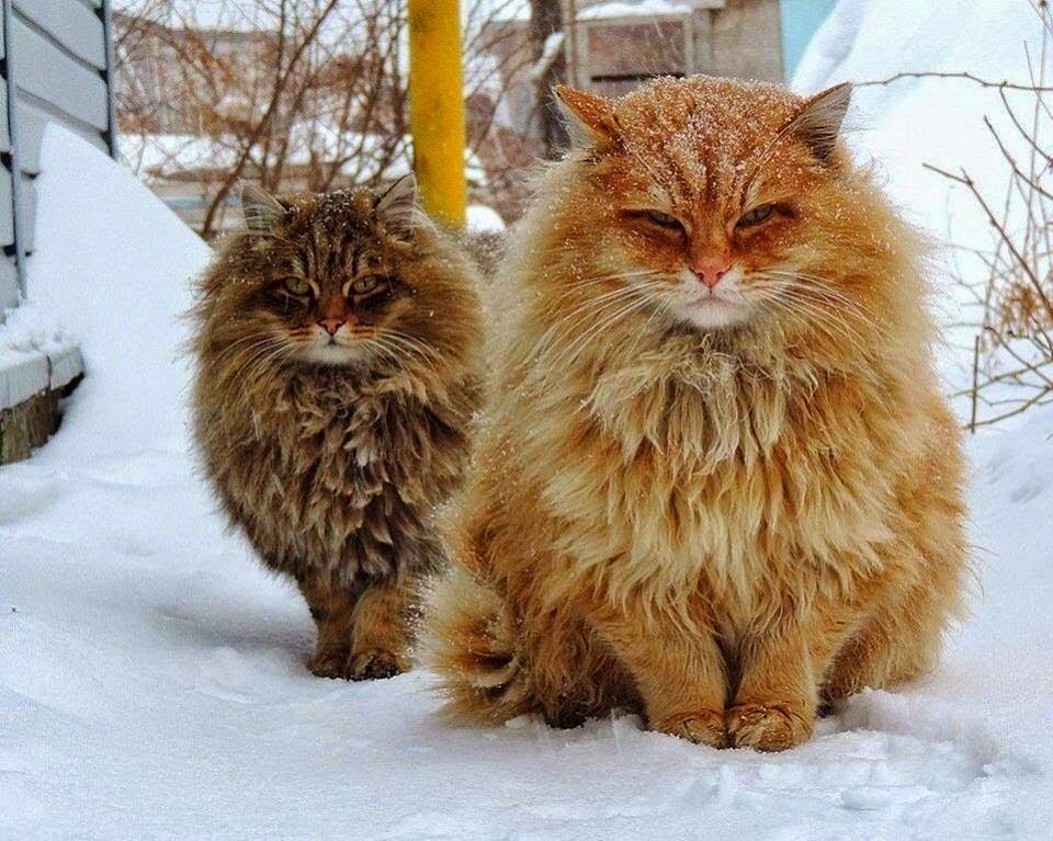 Floofy cats in snow