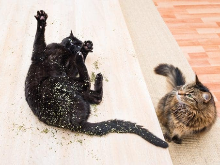 The Science Behind Catnip: Why and How It Works