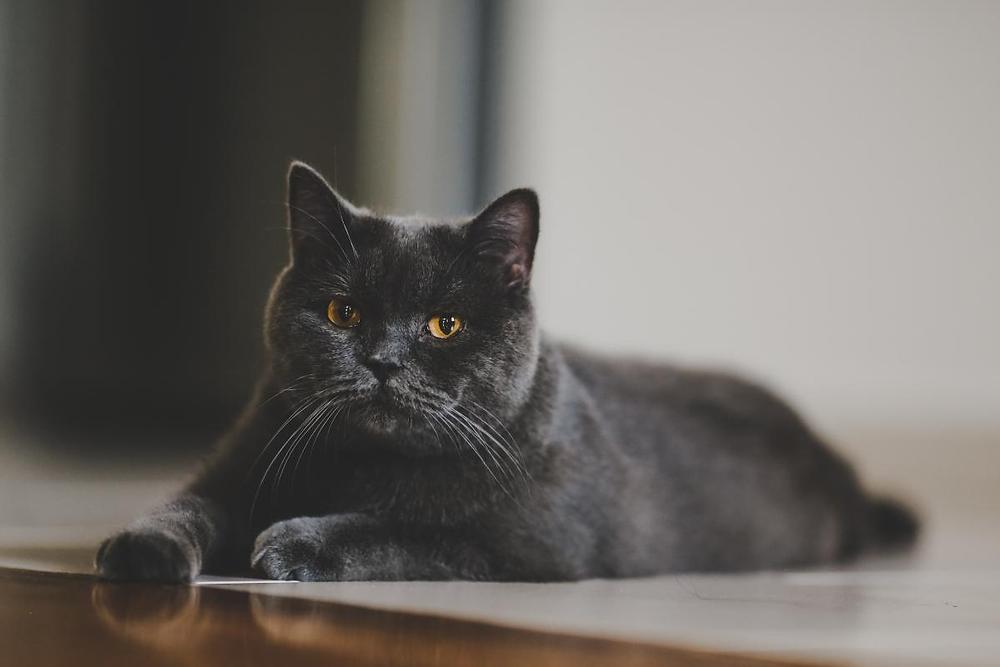 black cat glamor shot taken by your cat sitter