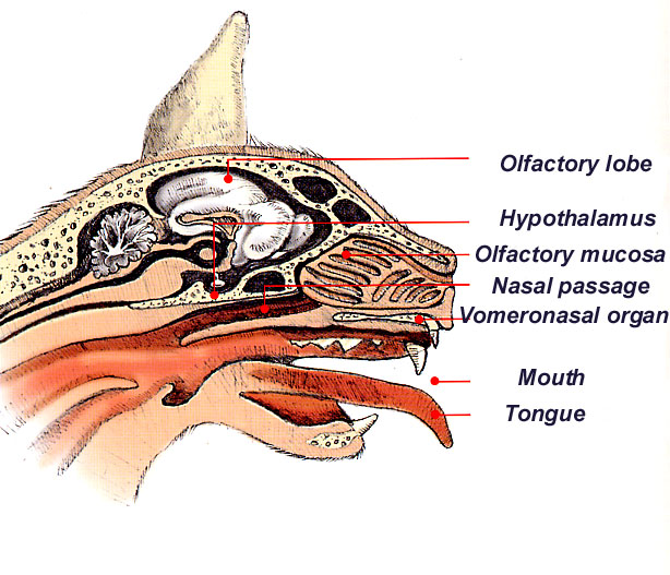 Flehmens Response Cat Anatomy