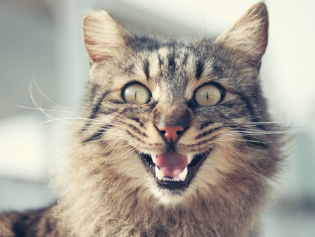 The Flehmen Response: Why is my cat making that face?
