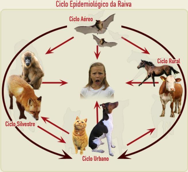 Ciclo Epidemiológico da Raiva