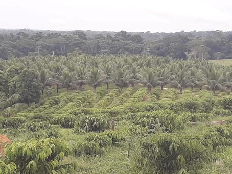 Produtores em Mâncio Lima iniciam a primeira colheita do café clonal