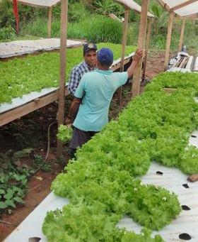 Prefeitura apoia produtores de verdura do município