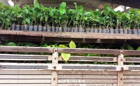 Secretaria de Agricultura transporta mais de 10 mil mudas de café clonal para Feijó