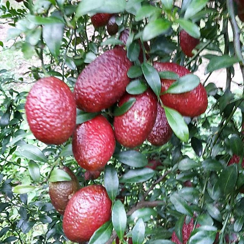 Blood lime 100g