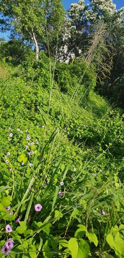Purple flowers with flowering Bocote tre