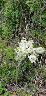 White flowers of Guerrero