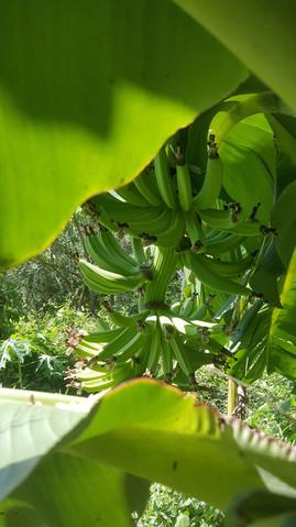 Bananas growing at Casa Arcoiris Zihuata
