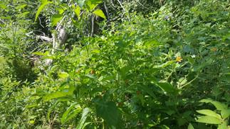 Tabasco pepper plant at Casa Arcoiris Zi