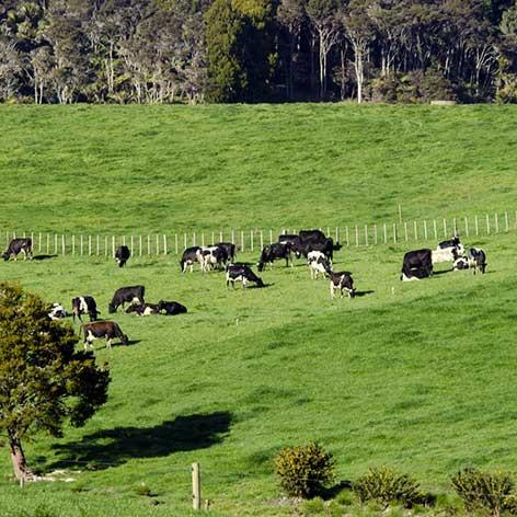 COWS-IN-PADDOCK.jpg