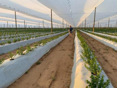 Namibia harvests first commercial blueberries thanks to smart irrigation
