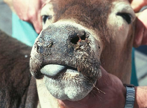 SOUTHERN DISTRICT COUNCIL, CHAIRMAN SAYS CATTLE IN KANYE ARE UNDER SIEGE FROM CATARRHAL FEVER