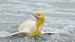 ภาพหายาก! นกเพนกวินสีเหลือง