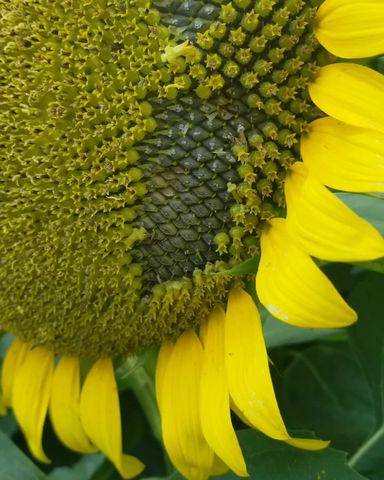 Sunflower Seeds and Pesto