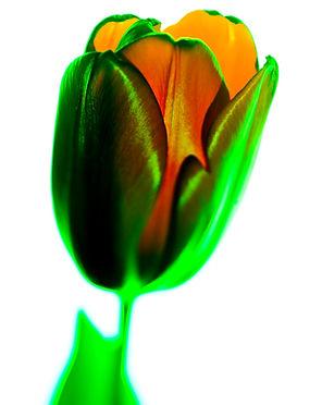 Electric Tulip.jpg