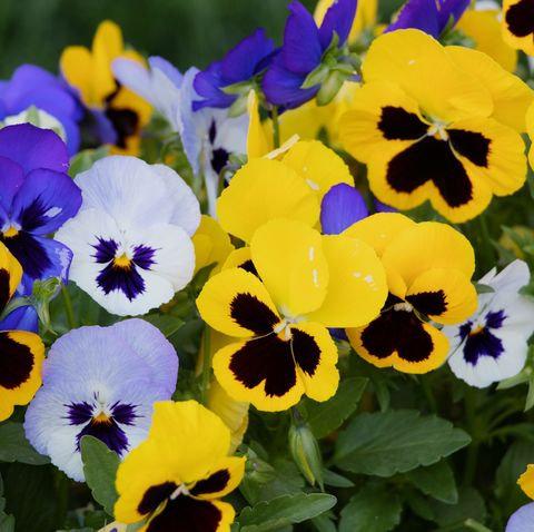Flowering Pansy