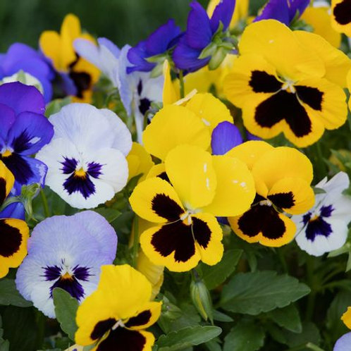 Winter Pansy 6 Pack