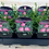 Thumbnail: Dianthus Scent First