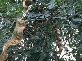 群馬市城、サイカチの木