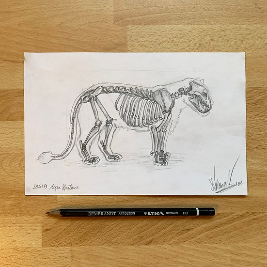 Dessin original - Anatomie de Tigre (+accès story privée)
