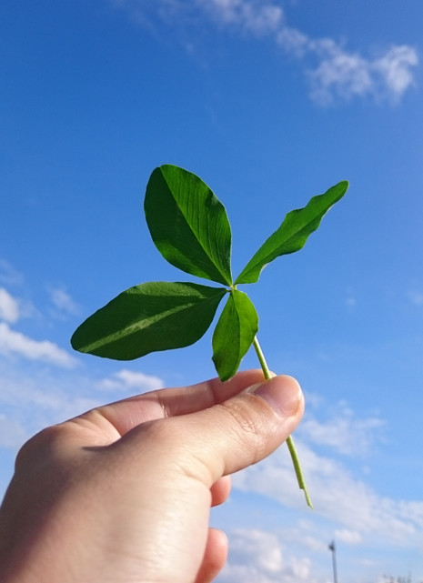 Why do some clovers have four leafs?