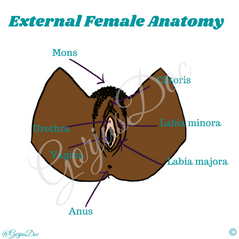 External Female Anatomy