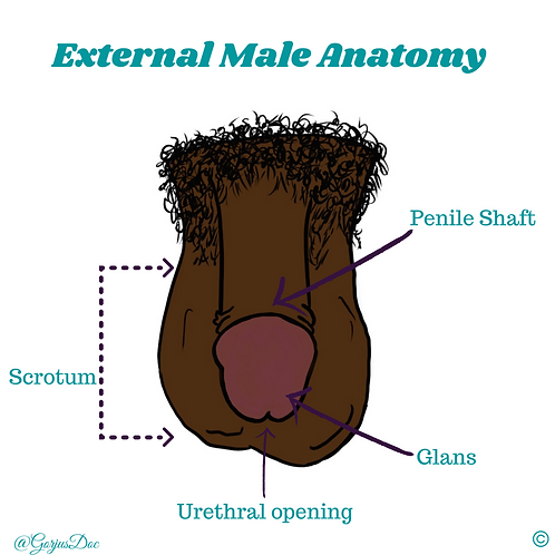 Male External Anatomy