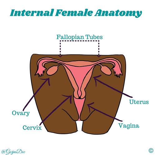 Internal Female Front Anatomy