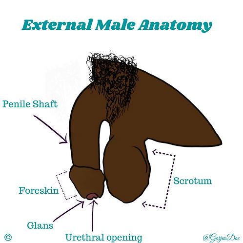 External Male Anatomy- Uncircumcised