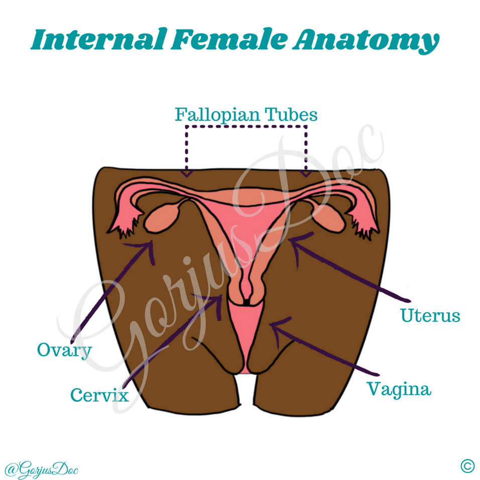 Internal Female Anatomy