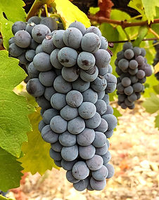 Aubun grape cluster